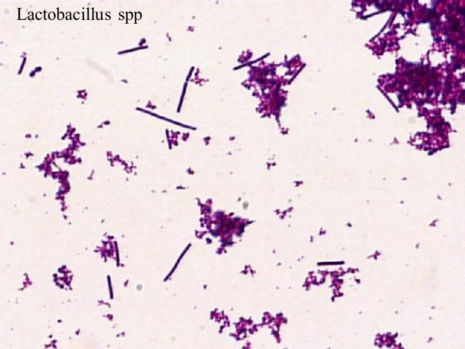 Днк lactobacillus spp количественно