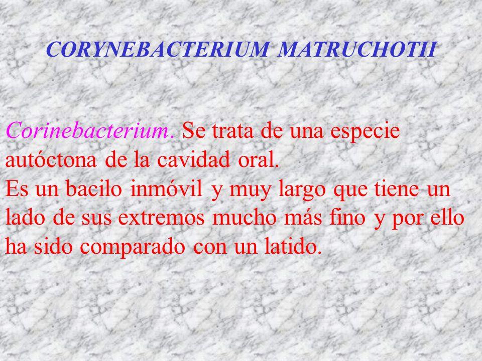 CORYNEBACTERIUM MATRUCHOTII Corinebacterium. Se trata de una especie autóctona de la cavidad oral. Es un bacilo inmóvil y muy largo que tiene un lado
