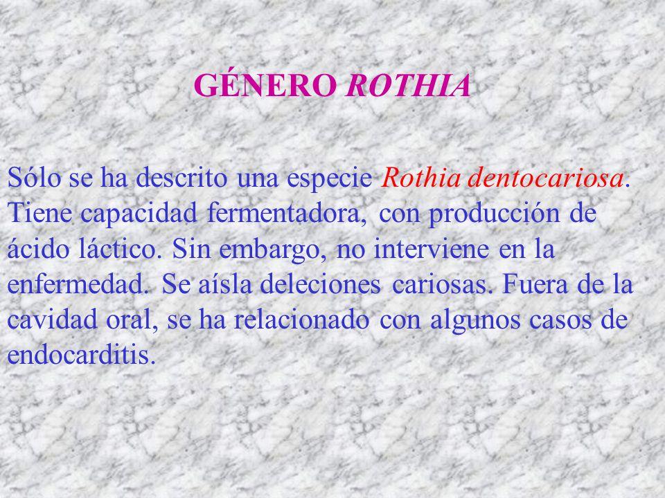 GÉNERO ROTHIA Sólo se ha descrito una especie Rothia dentocariosa. Tiene capacidad fermentadora, con producción de ácido láctico. Sin embargo, no inte