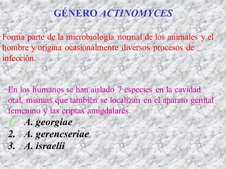 GÉNERO ACTINOMYCES Forma parte de la microbiología normal de los animales y el hombre y origina ocasionalmente diversos procesos de infección. En los