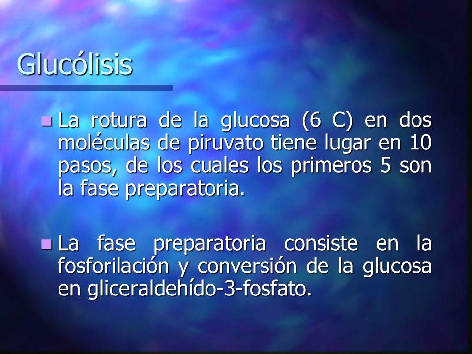 Glucólisis La rotura de la glucosa (6 C) en dos moléculas de piruvato tiene lugar en 10 pasos, de los cuales los primeros 5 son la fase preparatoria.