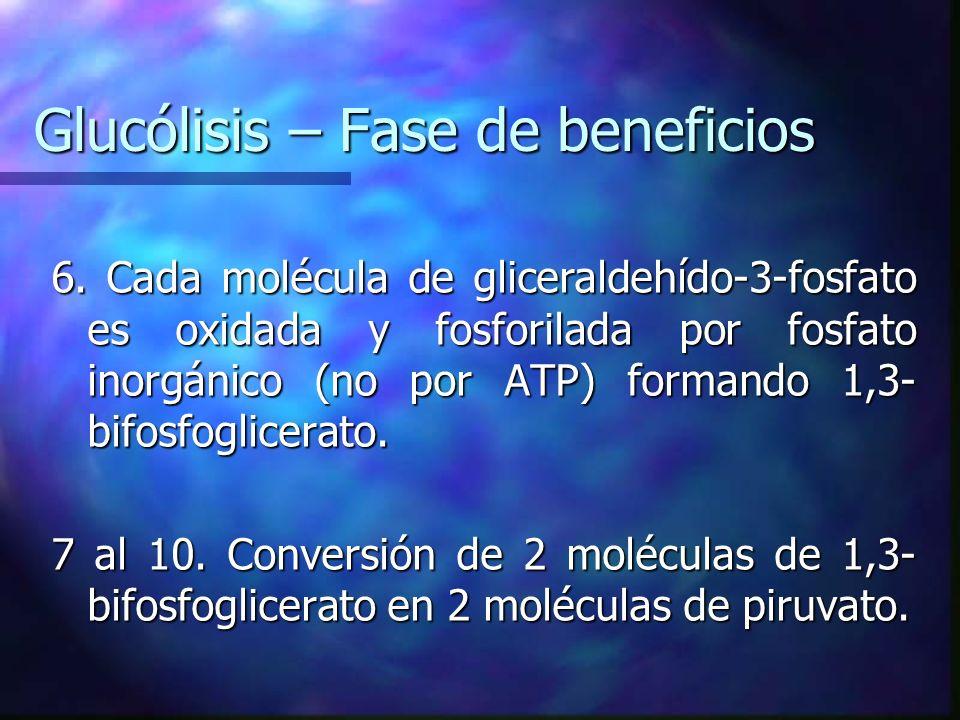 Glucólisis – Fase de beneficios 6. Cada molécula de gliceraldehído-3-fosfato es oxidada y fosforilada por fosfato inorgánico (no por ATP) formando 1,3