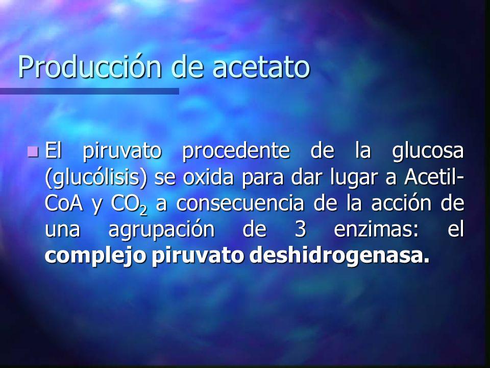 Producción de acetato El piruvato procedente de la glucosa (glucólisis) se oxida para dar lugar a Acetil- CoA y CO 2 a consecuencia de la acción de un