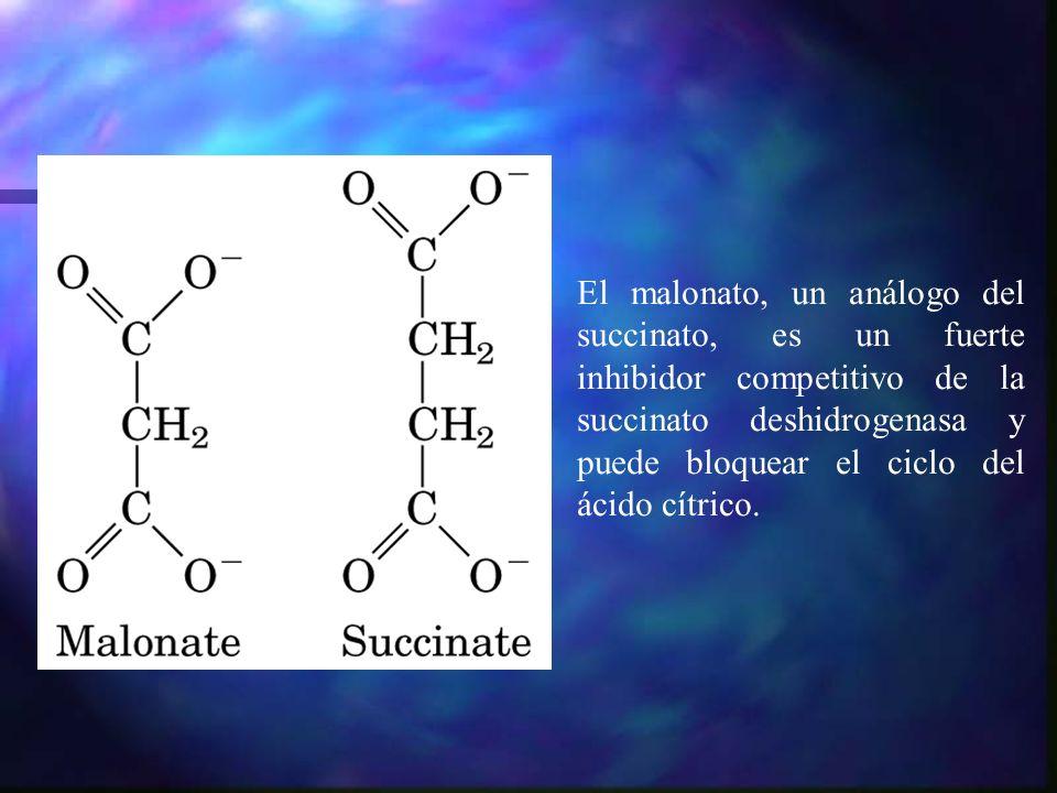 El malonato, un análogo del succinato, es un fuerte inhibidor competitivo de la succinato deshidrogenasa y puede bloquear el ciclo del ácido cítrico.