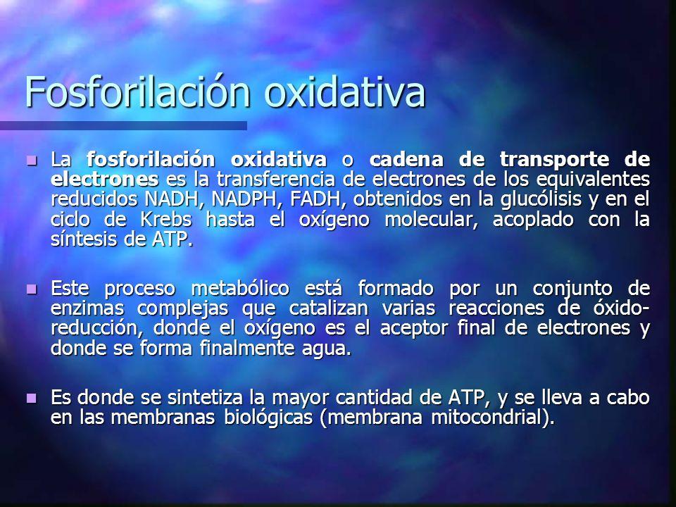 Fosforilación oxidativa La fosforilación oxidativa o cadena de transporte de electrones es la transferencia de electrones de los equivalentes reducido