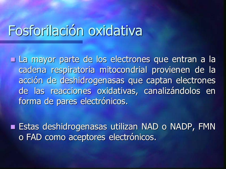 Fosforilación oxidativa La mayor parte de los electrones que entran a la cadena respiratoria mitocondrial provienen de la acción de deshidrogenasas qu