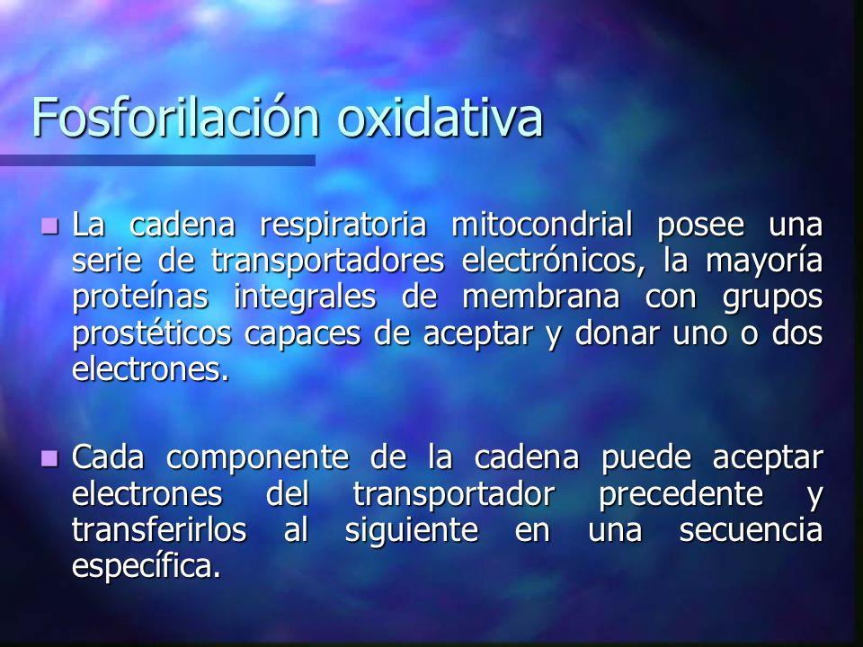 Fosforilación oxidativa La cadena respiratoria mitocondrial posee una serie de transportadores electrónicos, la mayoría proteínas integrales de membra
