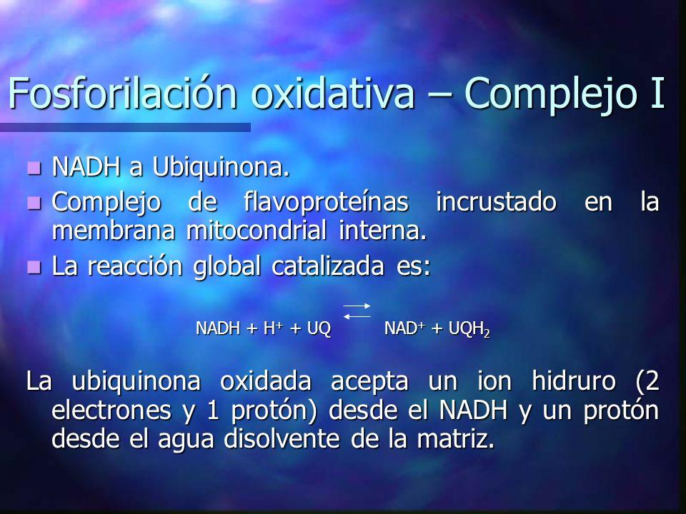 Fosforilación oxidativa – Complejo I NADH a Ubiquinona. NADH a Ubiquinona. Complejo de flavoproteínas incrustado en la membrana mitocondrial interna.