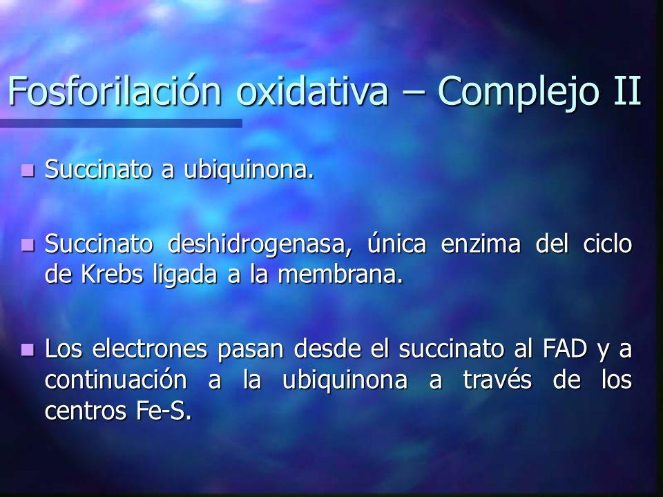 Fosforilación oxidativa – Complejo II Succinato a ubiquinona. Succinato a ubiquinona. Succinato deshidrogenasa, única enzima del ciclo de Krebs ligada