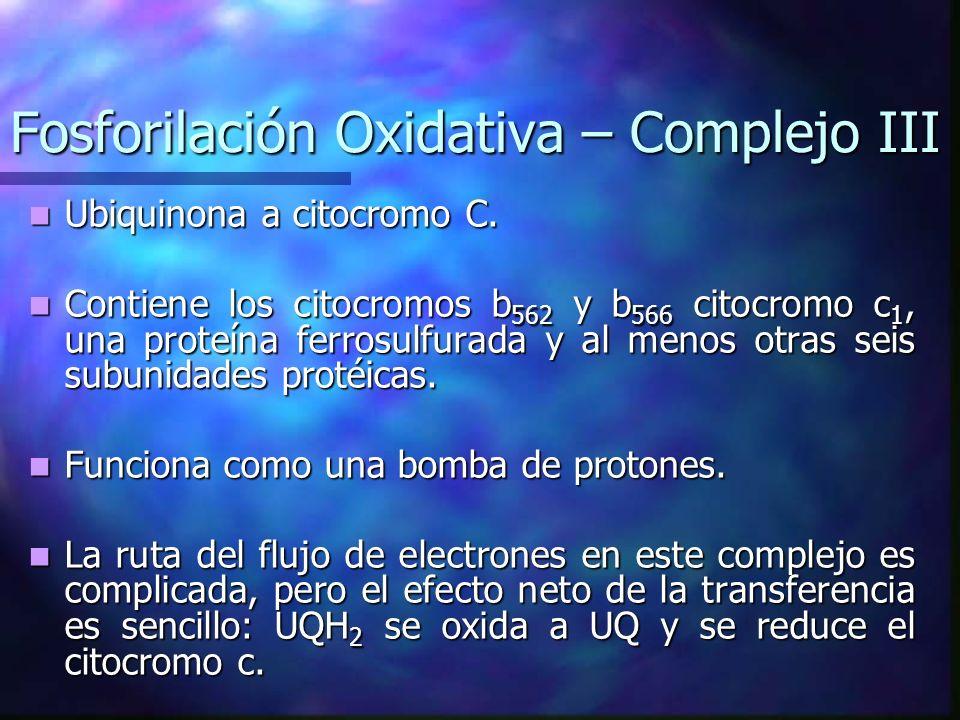 Fosforilación Oxidativa – Complejo III Ubiquinona a citocromo C. Ubiquinona a citocromo C. Contiene los citocromos b 562 y b 566 citocromo c 1, una pr