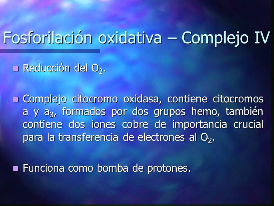 Fosforilación oxidativa – Complejo IV Reducción del O 2. Reducción del O 2. Complejo citocromo oxidasa, contiene citocromos a y a 3, formados por dos