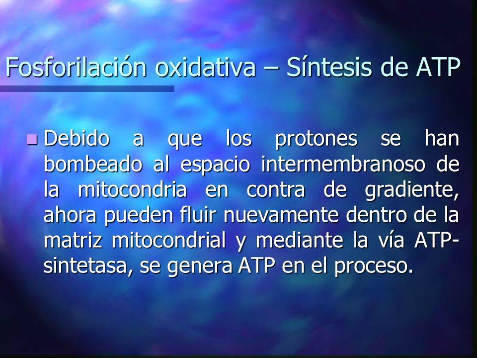 Fosforilación oxidativa – Síntesis de ATP Debido a que los protones se han bombeado al espacio intermembranoso de la mitocondria en contra de gradient