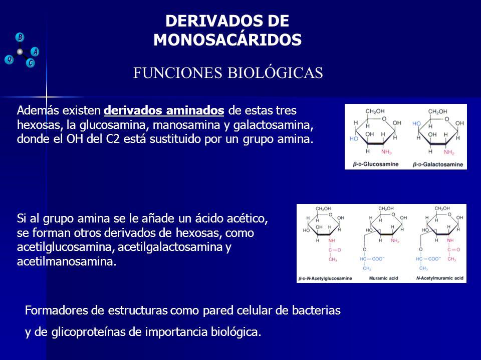 DERIVADOS DE MONOSACÁRIDOS FUNCIONES BIOLÓGICAS Además existen derivados aminados de estas tres hexosas, la glucosamina, manosamina y galactosamina, d