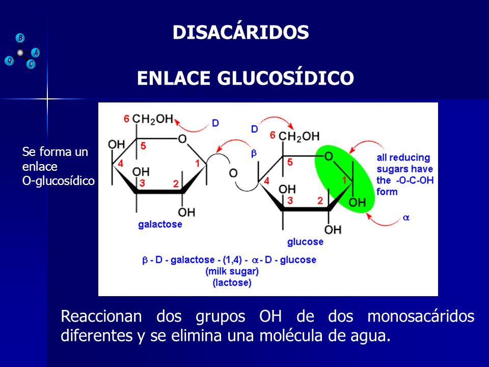DISACÁRIDOS ENLACE GLUCOSÍDICO Reaccionan dos grupos OH de dos monosacáridos diferentes y se elimina una molécula de agua. Se forma un enlace O-glucos