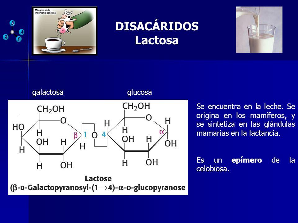 DISACÁRIDOS Lactosa galactosaglucosa Se encuentra en la leche. Se origina en los mamíferos, y se sintetiza en las glándulas mamarias en la lactancia.