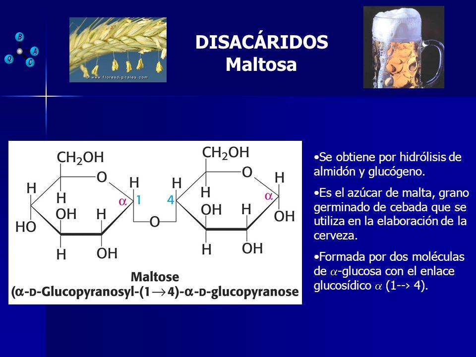 DISACÁRIDOS Maltosa Se obtiene por hidrólisis de almidón y glucógeno. Es el azúcar de malta, grano germinado de cebada que se utiliza en la elaboració