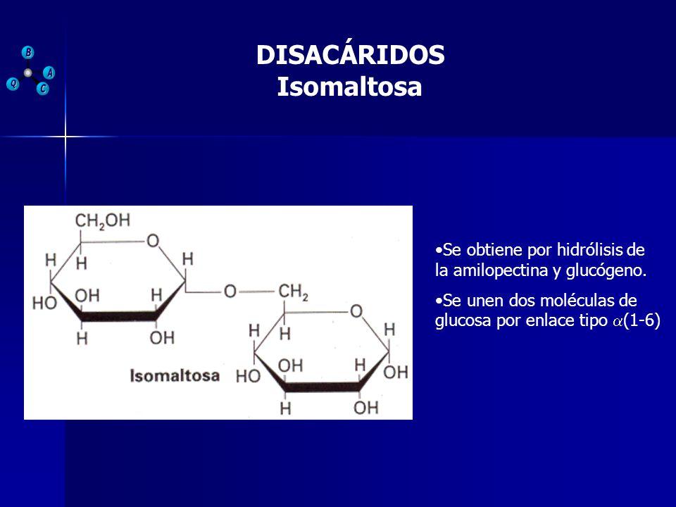 DISACÁRIDOS Isomaltosa Se obtiene por hidrólisis de la amilopectina y glucógeno. Se unen dos moléculas de glucosa por enlace tipo (1-6)
