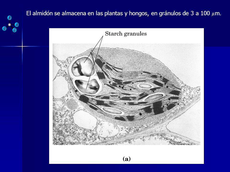 El almidón se almacena en las plantas y hongos, en gránulos de 3 a 100 m.