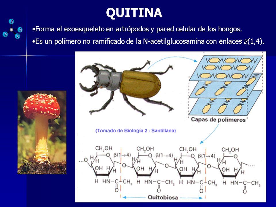 QUITINA Forma el exoesqueleto en artrópodos y pared celular de los hongos. Es un polímero no ramificado de la N-acetilglucosamina con enlaces (1,4).