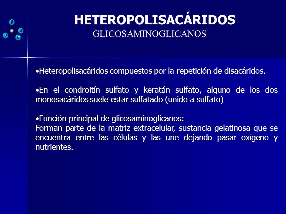 GLICOSAMINOGLICANOS Heteropolisacáridos compuestos por la repetición de disacáridos. En el condroitín sulfato y keratán sulfato, alguno de los dos mon