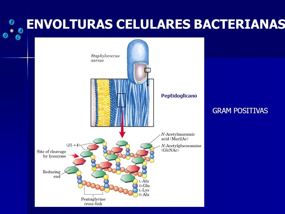ENVOLTURAS CELULARES BACTERIANAS GRAM POSITIVAS Peptidoglicano