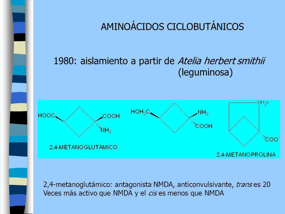 AMINOÁCIDOS CICLOBUTÁNICOS 1980: aislamiento a partir de Atelia herbert smithii (leguminosa) 2,4-metanoglutámico: antagonista NMDA, anticonvulsivante,
