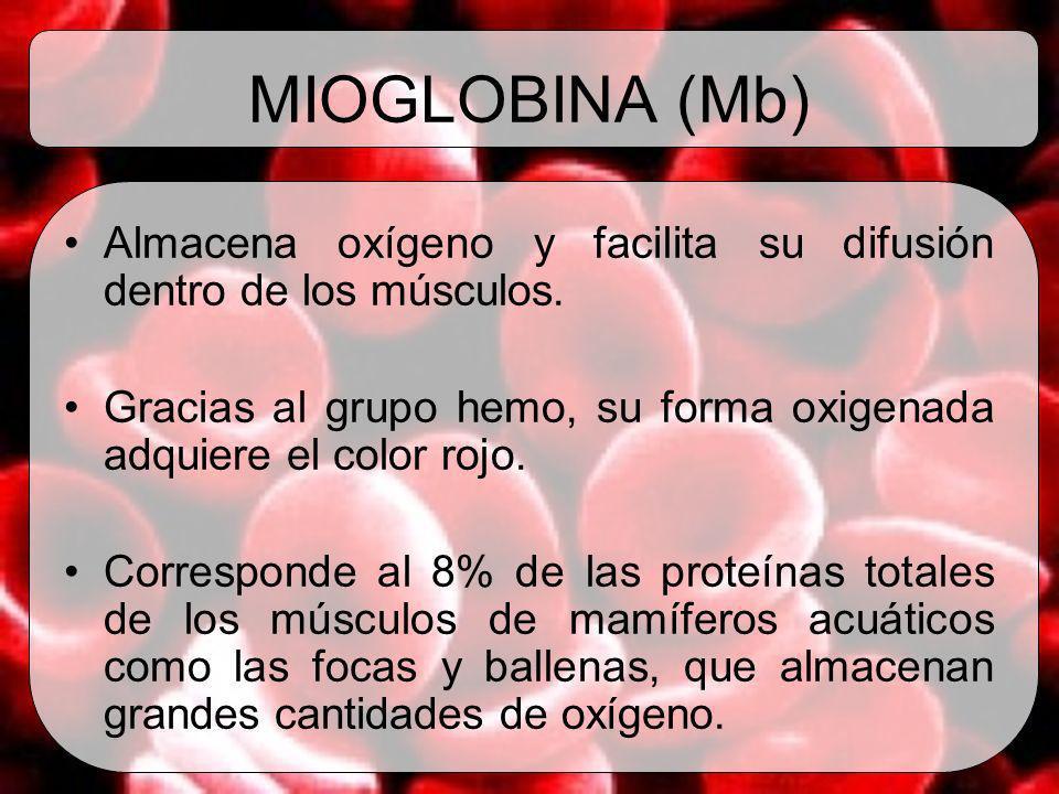 MIOGLOBINA (Mb) Almacena oxígeno y facilita su difusión dentro de los músculos. Gracias al grupo hemo, su forma oxigenada adquiere el color rojo. Corr