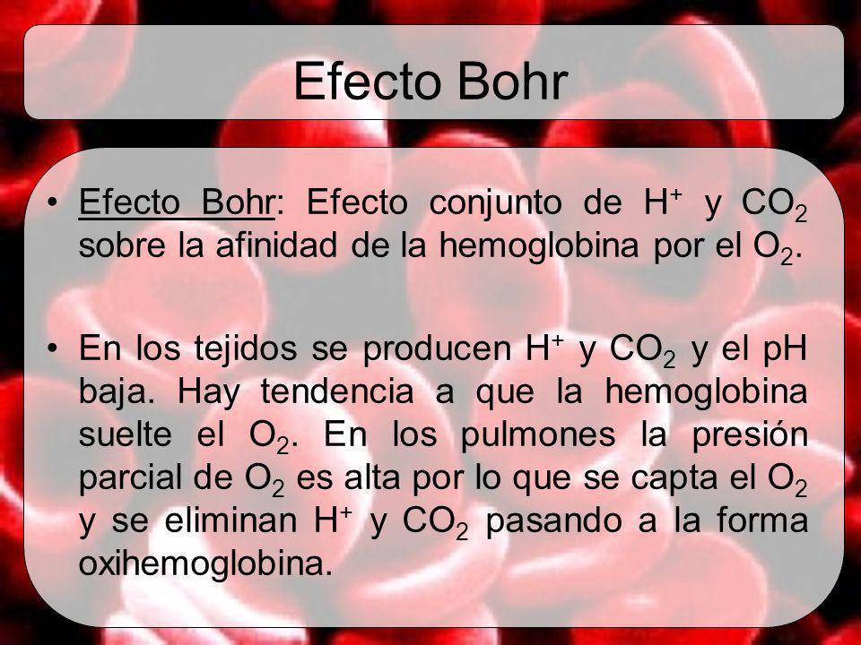 Efecto Bohr Efecto Bohr: Efecto conjunto de H + y CO 2 sobre la afinidad de la hemoglobina por el O 2. En los tejidos se producen H + y CO 2 y el pH b