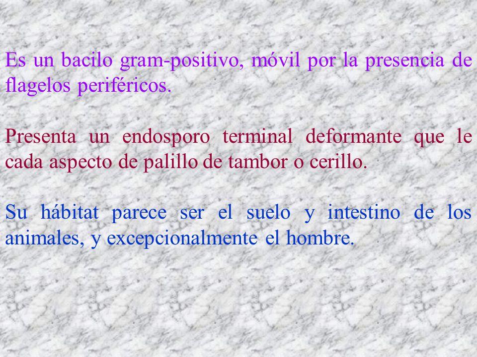 Es un bacilo gram-positivo, móvil por la presencia de flagelos periféricos. Presenta un endosporo terminal deformante que le cada aspecto de palillo d