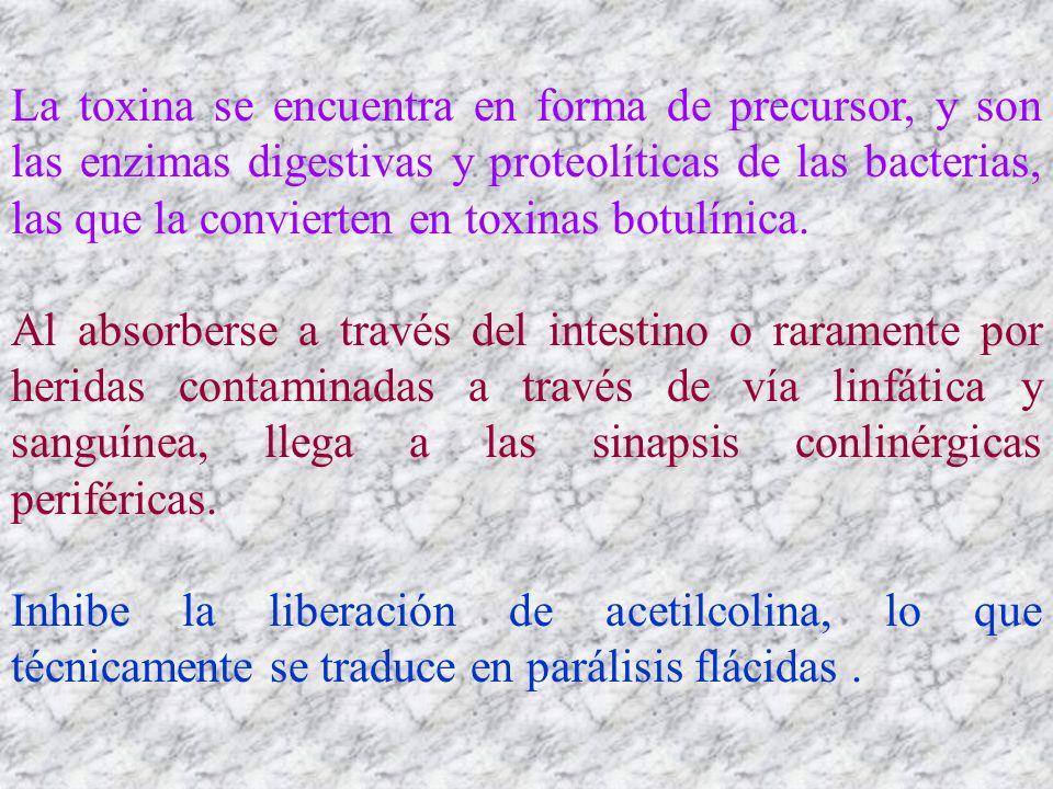 La toxina se encuentra en forma de precursor, y son las enzimas digestivas y proteolíticas de las bacterias, las que la convierten en toxinas botulíni