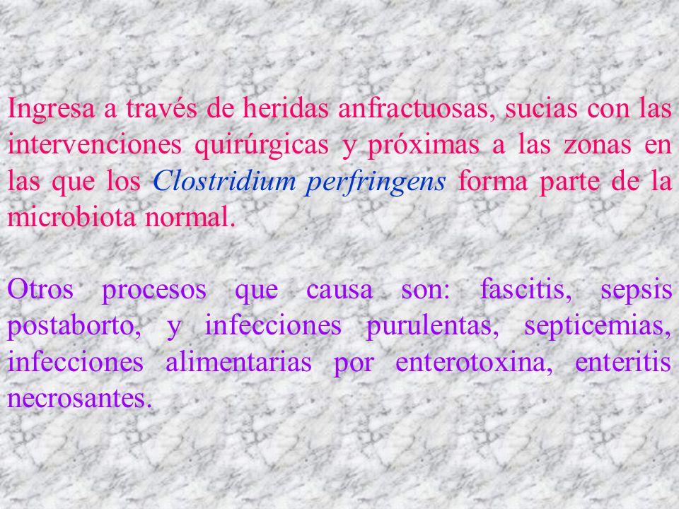 Ingresa a través de heridas anfractuosas, sucias con las intervenciones quirúrgicas y próximas a las zonas en las que los Clostridium perfringens form