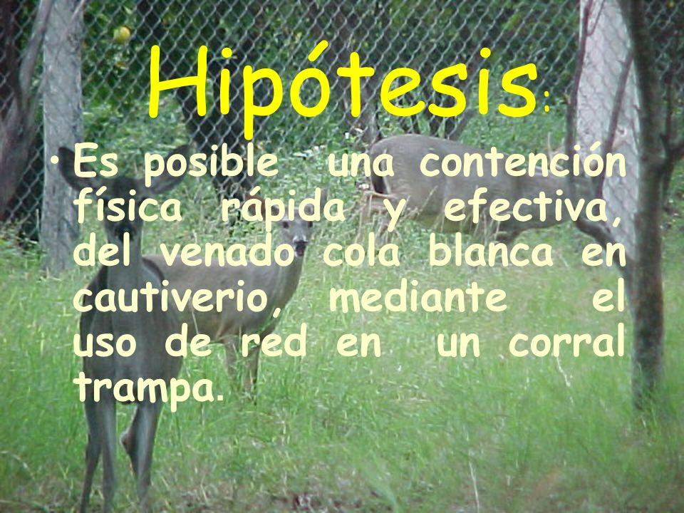Hipótesis : Es posible una contención física rápida y efectiva, del venado cola blanca en cautiverio, mediante el uso de red en un corral trampa.