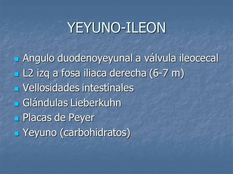 YEYUNO-ILEON Angulo duodenoyeyunal a válvula ileocecal Angulo duodenoyeyunal a válvula ileocecal L2 izq a fosa iliaca derecha (6-7 m) L2 izq a fosa il