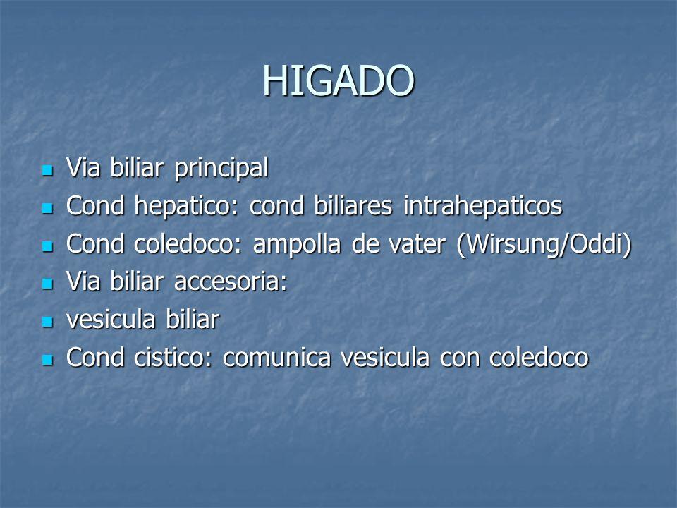 HIGADO Via biliar principal Via biliar principal Cond hepatico: cond biliares intrahepaticos Cond hepatico: cond biliares intrahepaticos Cond coledoco