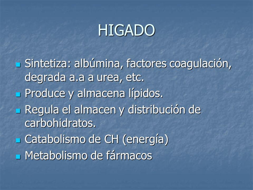 HIGADO Sintetiza: albúmina, factores coagulación, degrada a.a a urea, etc. Sintetiza: albúmina, factores coagulación, degrada a.a a urea, etc. Produce