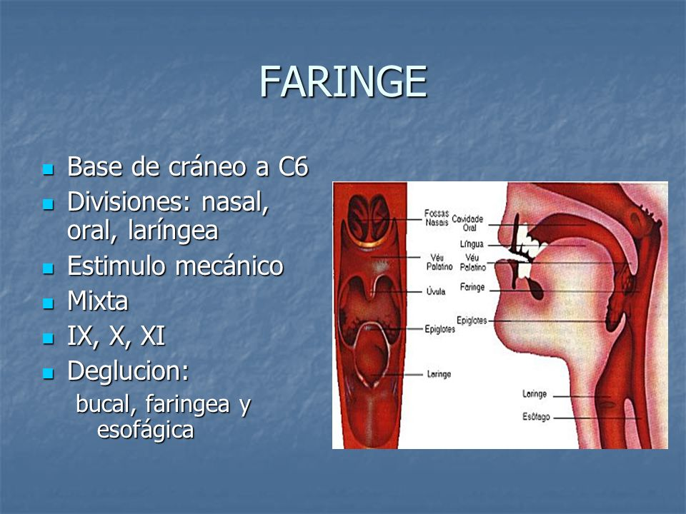 FARINGE Base de cráneo a C6 Base de cráneo a C6 Divisiones: nasal, oral, laríngea Divisiones: nasal, oral, laríngea Estimulo mecánico Estimulo mecánic