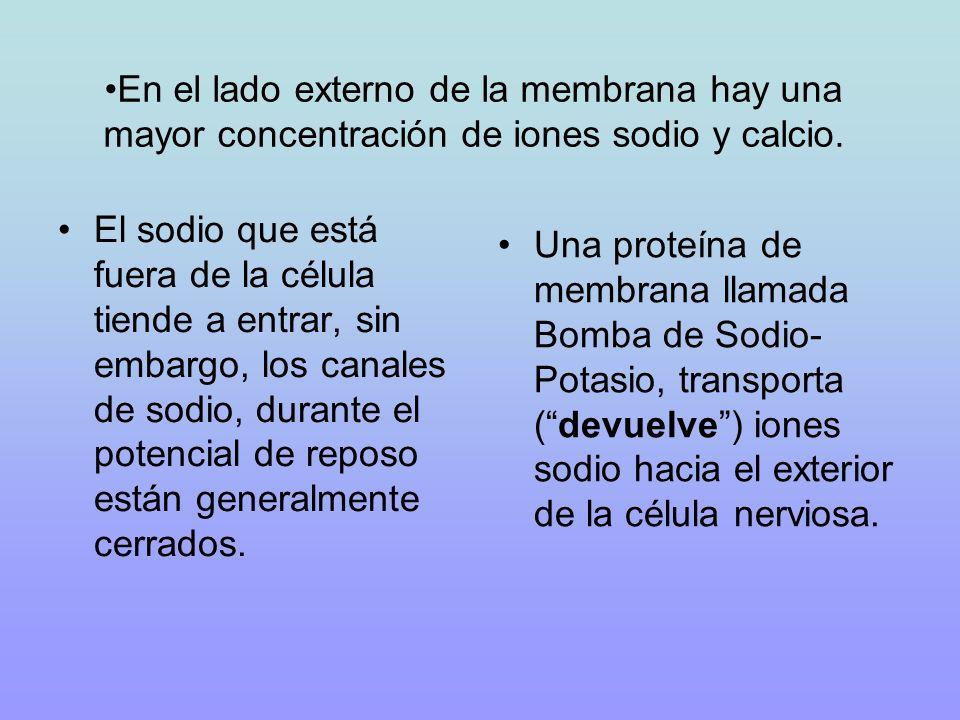 En el lado externo de la membrana hay una mayor concentración de iones sodio y calcio. El sodio que está fuera de la célula tiende a entrar, sin embar