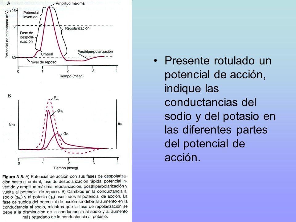Presente rotulado un potencial de acción, indique las conductancias del sodio y del potasio en las diferentes partes del potencial de acción.