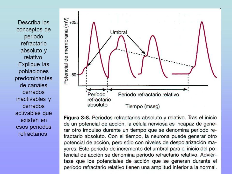 Describa los conceptos de periodo refractario absoluto y relativo. Explique las poblaciones predominantes de canales cerrados inactivables y cerrados