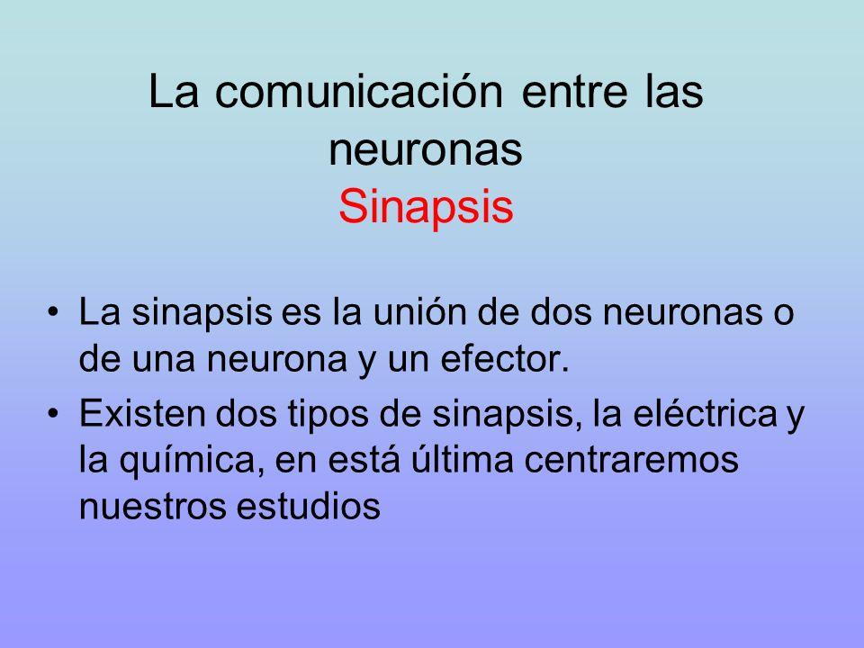 La comunicación entre las neuronas Sinapsis La sinapsis es la unión de dos neuronas o de una neurona y un efector. Existen dos tipos de sinapsis, la e