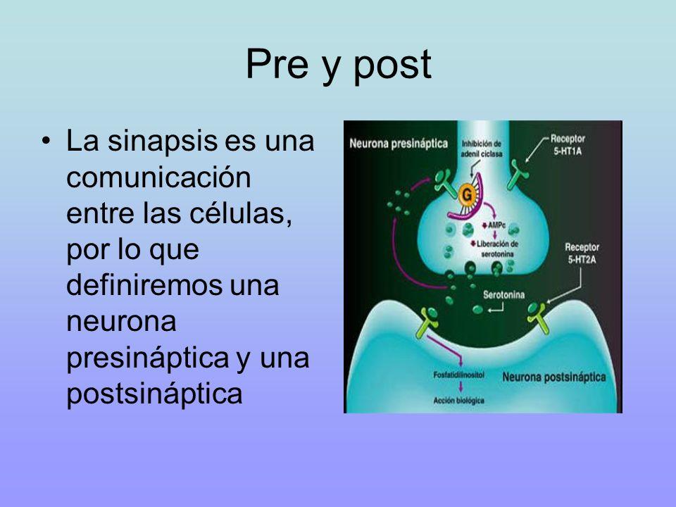 Pre y post La sinapsis es una comunicación entre las células, por lo que definiremos una neurona presináptica y una postsináptica