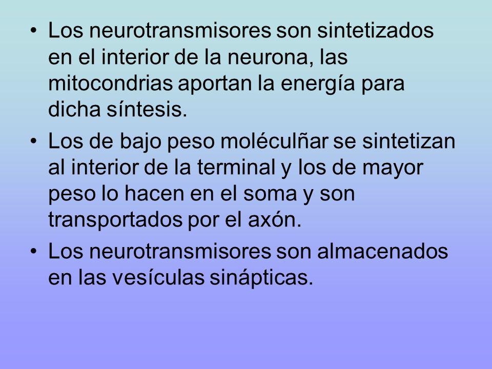 Los neurotransmisores son sintetizados en el interior de la neurona, las mitocondrias aportan la energía para dicha síntesis. Los de bajo peso molécul
