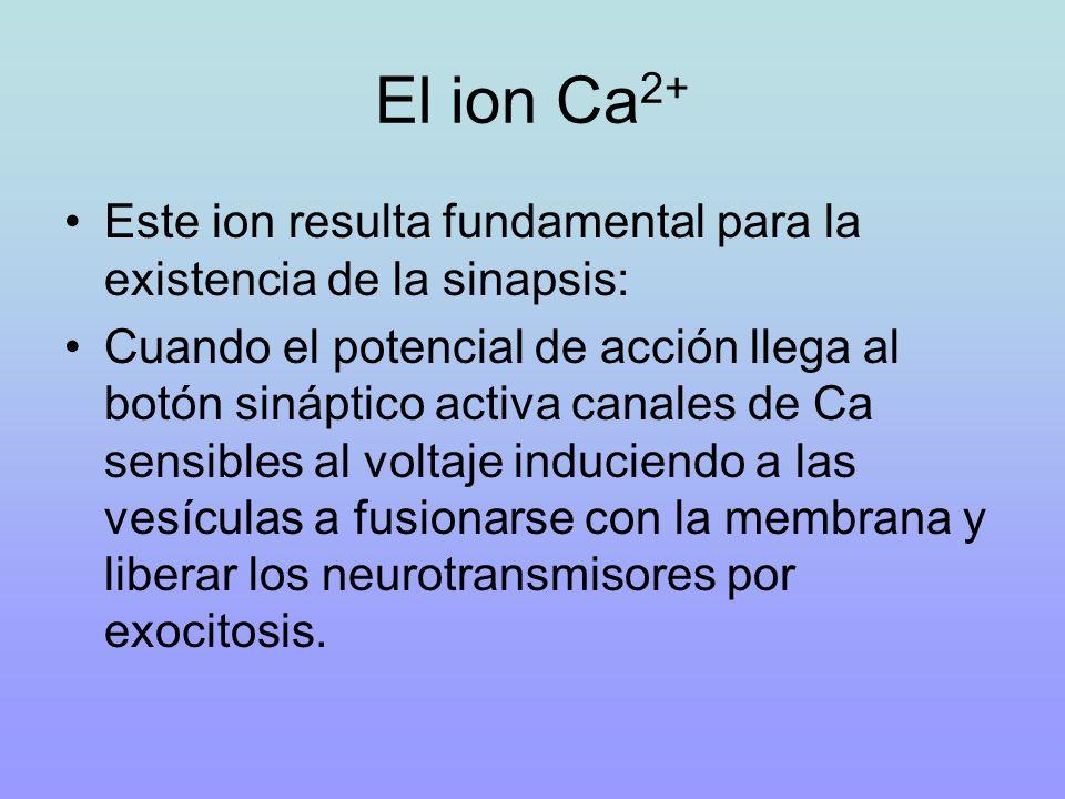 El ion Ca 2+ Este ion resulta fundamental para la existencia de la sinapsis: Cuando el potencial de acción llega al botón sináptico activa canales de