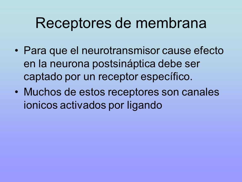 Receptores de membrana Para que el neurotransmisor cause efecto en la neurona postsináptica debe ser captado por un receptor específico. Muchos de est