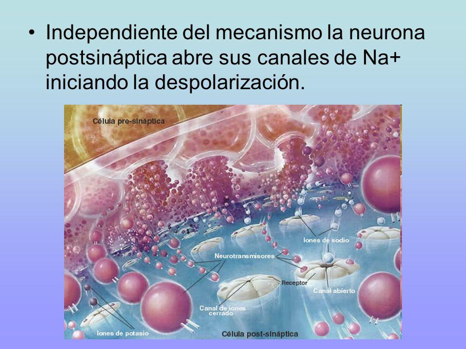 Independiente del mecanismo la neurona postsináptica abre sus canales de Na+ iniciando la despolarización.