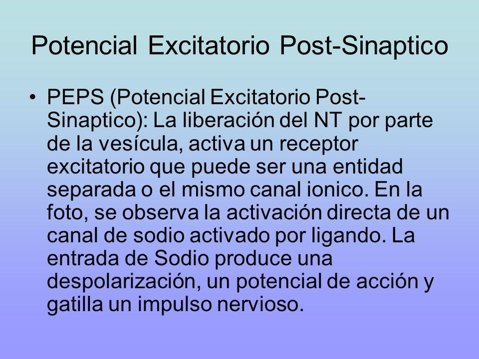 Potencial Excitatorio Post-Sinaptico PEPS (Potencial Excitatorio Post- Sinaptico): La liberación del NT por parte de la vesícula, activa un receptor e