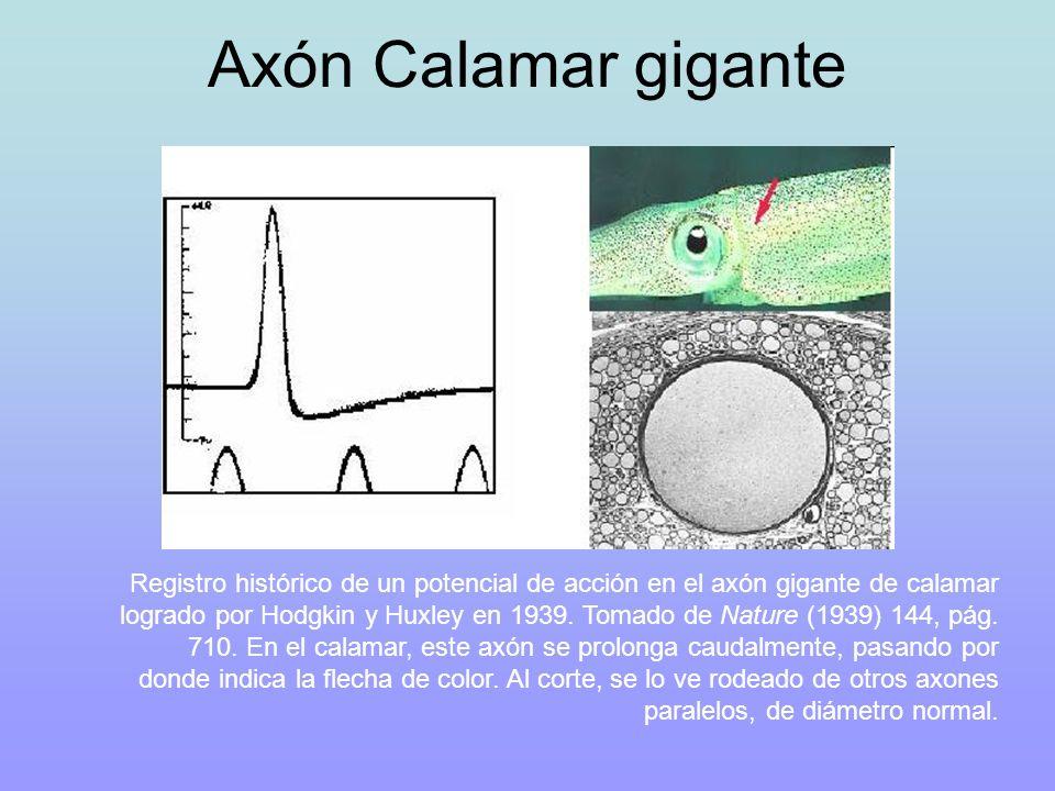 Axón Calamar gigante Registro histórico de un potencial de acción en el axón gigante de calamar logrado por Hodgkin y Huxley en 1939. Tomado de Nature