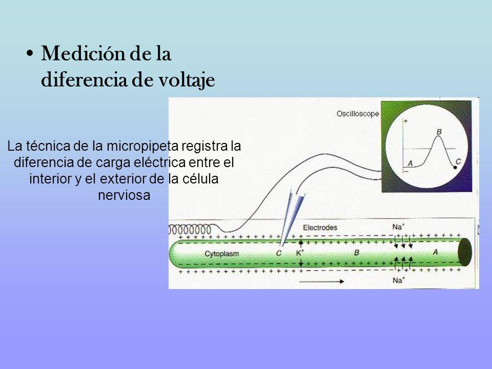 Medición de la diferencia de voltaje La técnica de la micropipeta registra la diferencia de carga eléctrica entre el interior y el exterior de la célu
