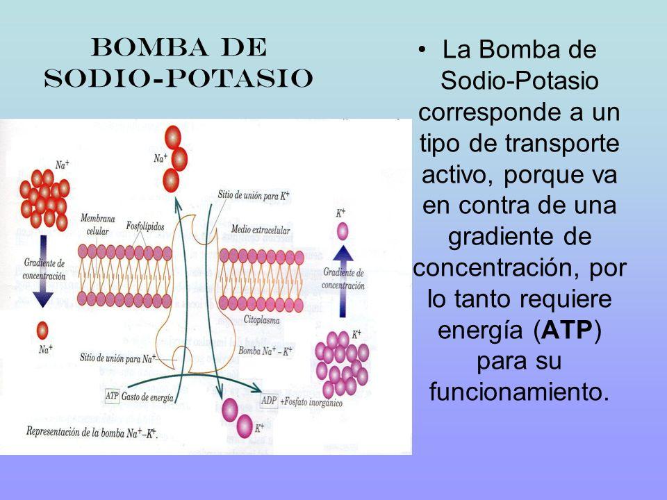 Bomba de sodio-potasio La Bomba de Sodio-Potasio corresponde a un tipo de transporte activo, porque va en contra de una gradiente de concentración, po
