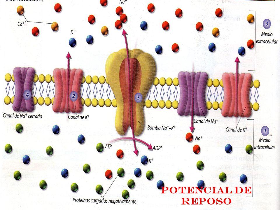 En el interior de la membrana existe una mayor concentración de iones potasio y proteínas cargadas negativamente.